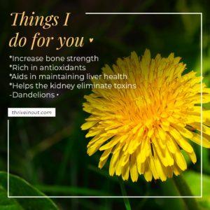 thriveinout dandelions